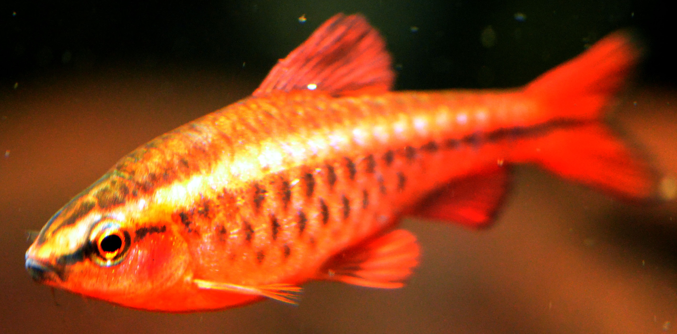 Male-cherry-barb-faing-left