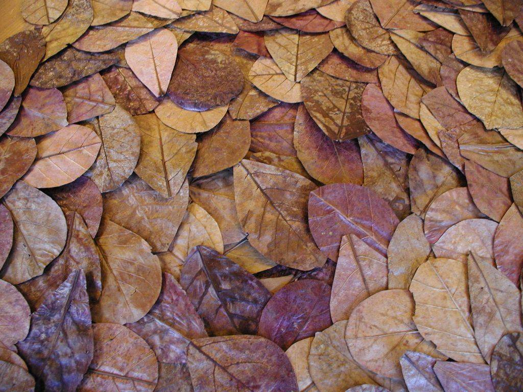 catappa-leaves-12-18cm