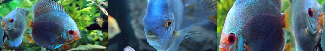 community-blueddiscus