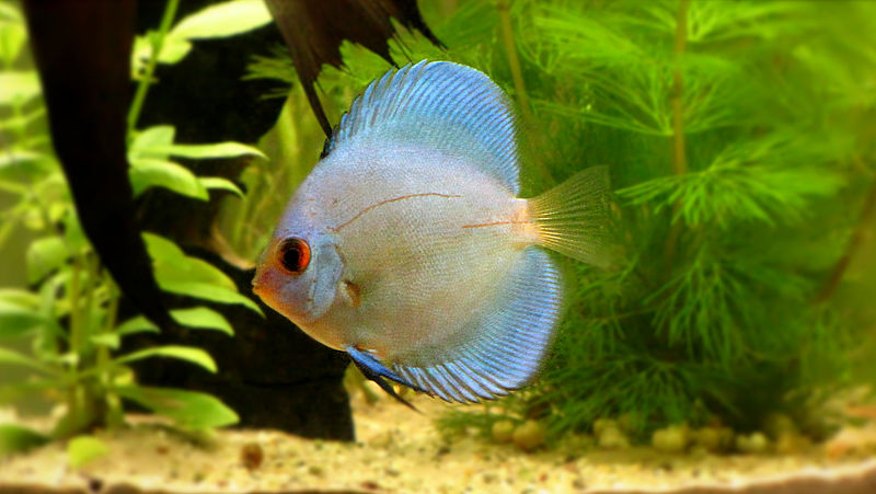 800px-blue_diamond_discus_fish