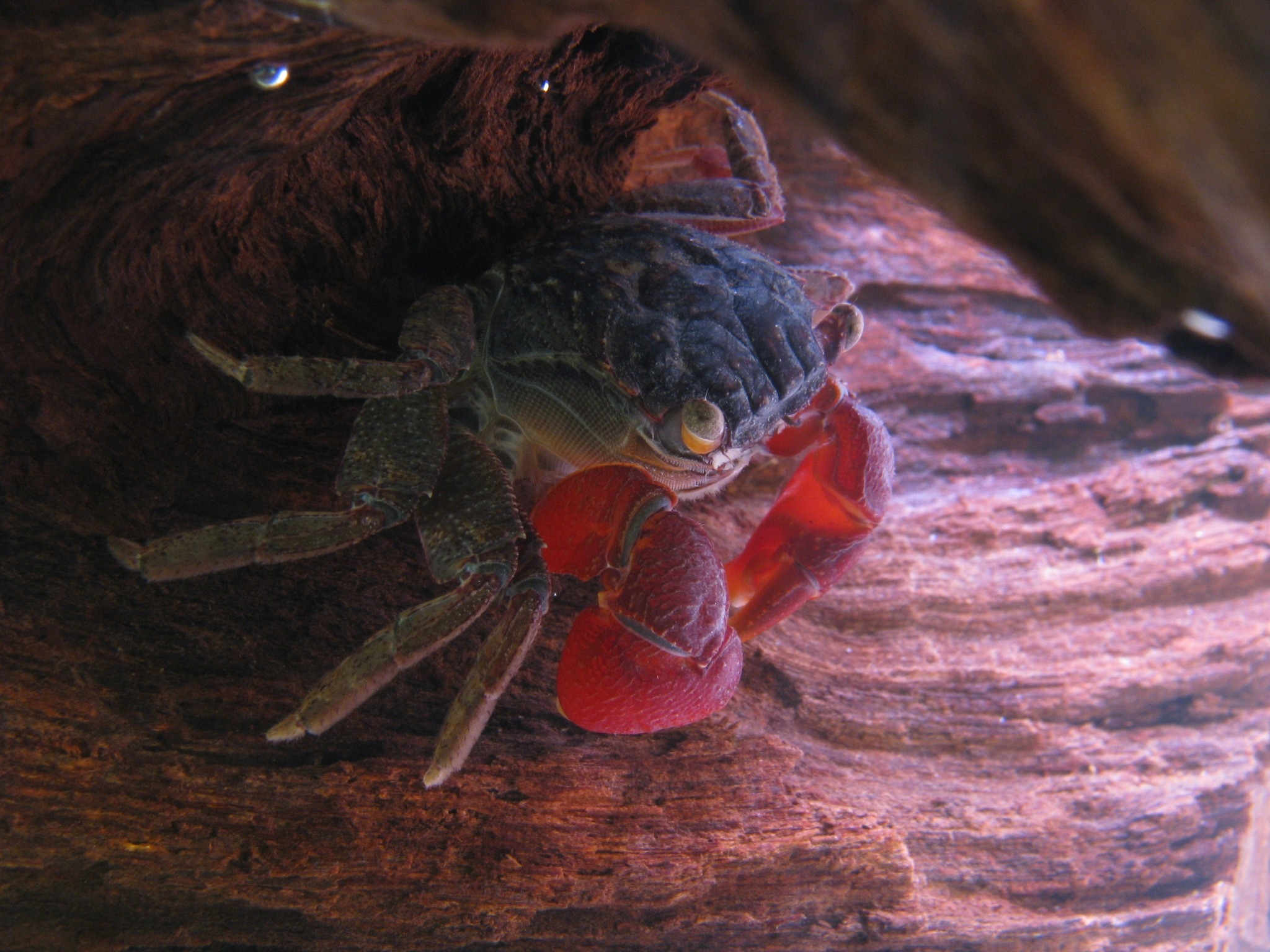 red-clawed_crab