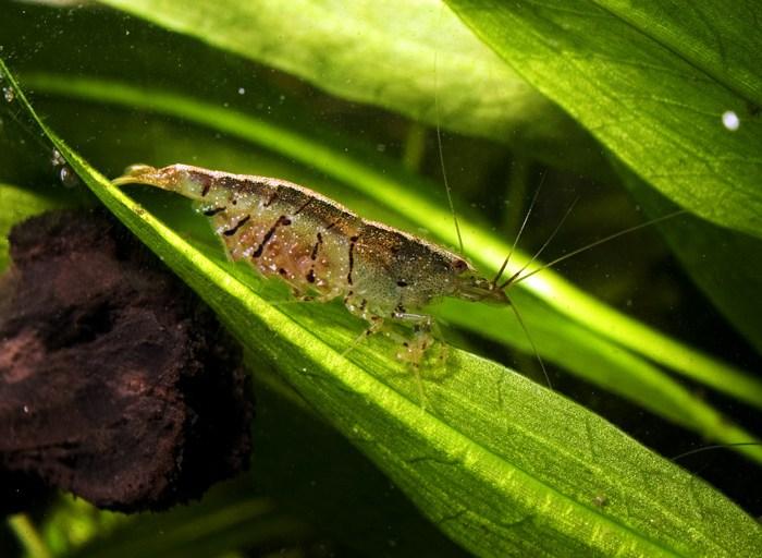tiger-shrimp-caridina-cf-cantonensis-tiger-information-tiger-shrimp-for-sale-and-where-to-buy-cheap-tiger-shrimp-aquatic-mag-3