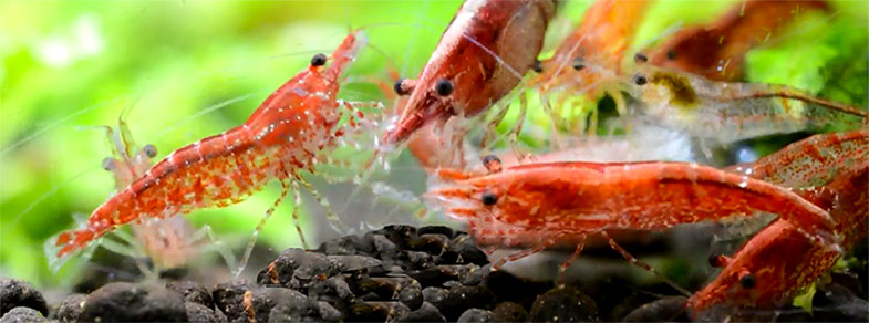 cherryshrimp2
