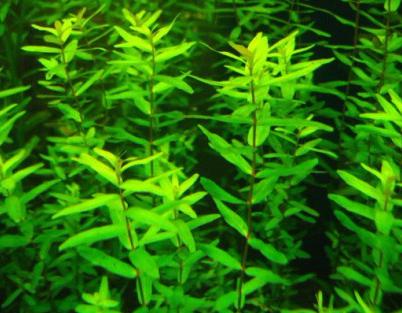 rotala-rotundifolia-green203-600x315