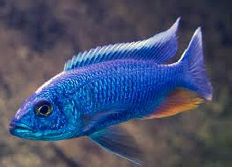 scienochromis20fryeri_lrg